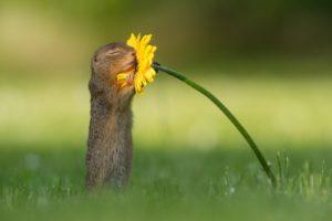 суслик нюхает цветок